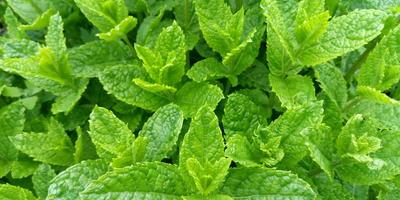 3 сорта мяты для украшения сада и для чая - Марроканская, Цитаро и Гингер