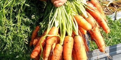 Мои секреты посадки моркови для ее защиты от морковной мухи