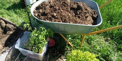 """Как сажать переросшую рассаду томатов: советы для новичков и огородных """"чайников"""""""