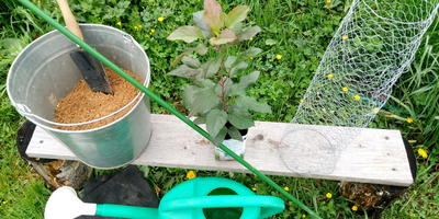 Посадка саженца плодового дерева. Упрощенный, но эффективный вариант. Мастер-класс для новичков