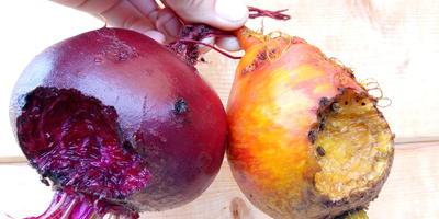 Можно ли употреблять в пищу погрызенные грызунами корнеплоды?