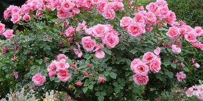 Приму в дар/обменяю розы