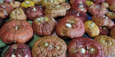 Прорастают луковицы гладиолусов. Как поступить?