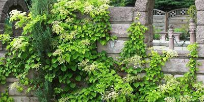 Как вырастить черешковую гортензию из семян?