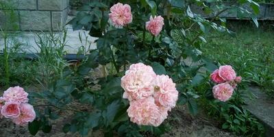 Подскажите, пожалуйста, какая это роза?