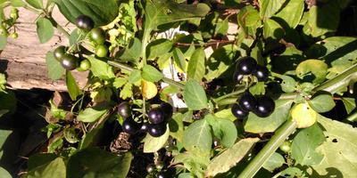 Санберри - солнечная ягода