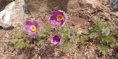 Любимый цветок весны - прострел