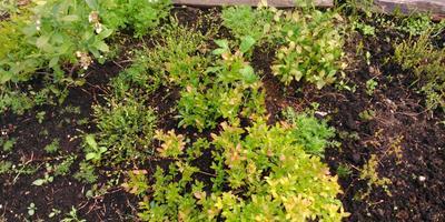 Кедры-сорняки