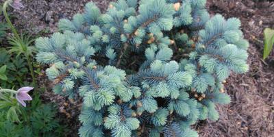 Glauca globosa - ель голубая шаровидная