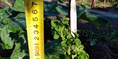 Сравнительный анализ: томаты в теплице и на улице