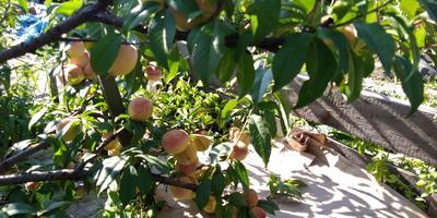 Мой персиково-яблочный август...