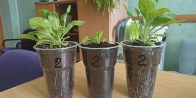 Петуния Синеглазка F1. Этап IV. Развитие растений и уход за ними.