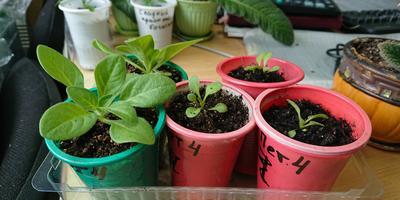 Петуния Ольга F1. IV этап. Развитие растений и уход за ними