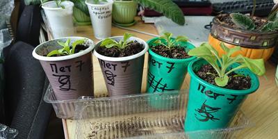 Петуния Марко Поло F1 лимонно-синяя. IV этап. Развитие растений и уход за ними. Первое цветение