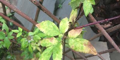 Почему у клематиса желтеют листья?