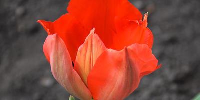 Помогите определить сорта тюльпанов
