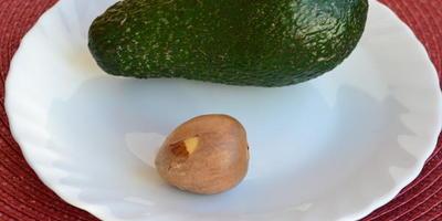 Прорастет ли косточка авокадо?