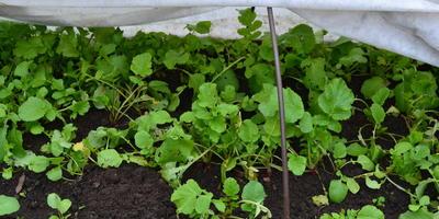 Осенний редис - последние витамины на грядке