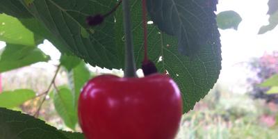 Тестирование стимулятора плодообразования БУТОН на черешне. Итоги
