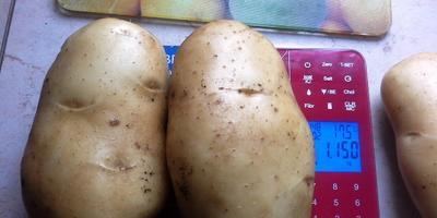 Непредсказуемая картошка, или И опытные ошибаются...  Мой урожай - 2016, глава 5