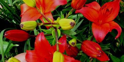 Неполный каталог любимых цветов, или Лилии в моём саду