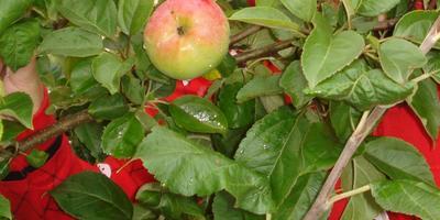 """Немного о яблоне сорта """"Конста"""""""