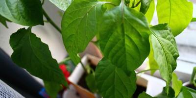 Домашнее задание №9: выращивание рассады перца и баклажана