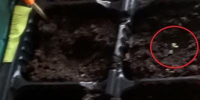 Петуния Марко Поло F1 лиловая. II этап. Всходы. Появление настоящих листьев