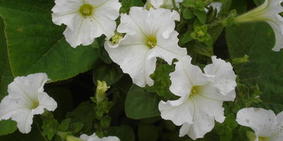 Комплиментуния белая F1. IV этап. Развитие растений и уход за ними