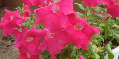 Комплиментуния розовая F1. IV этап. Развитие растений и уход за ними