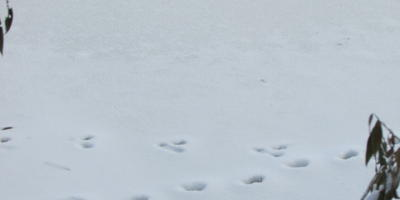 Помогите определить, какому животному принадлежат следы