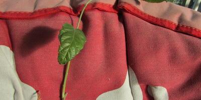Прошу оценки саженца и совета по посадке саженца яблони