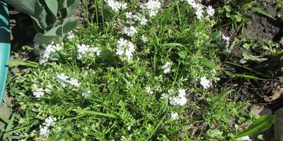 Как называется эта почвопокровная травка?