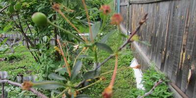 Вишня бурно цветет, но ягод мало. Почему так?