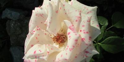 Почему изменился окрас у розы?
