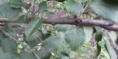 Черная ветка у яблони - что это за болезнь?
