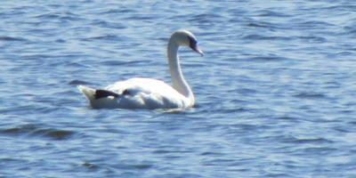 Лебедь на нашем озере