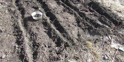 Как я вырастила сельдерей вместе с пореем