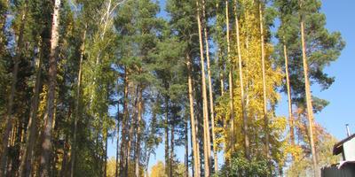 Меж берёз и сосен тихо бродит Осень