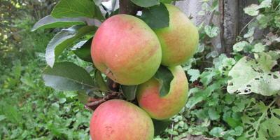 Когда ждать урожай колоновидной яблони?