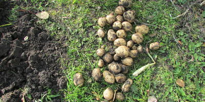 Второй урожай картошки