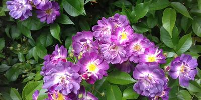 Роза плетистая Вейльхенблау сиреневая - моя гордость и главное украшние моего сада!
