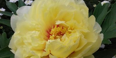 ИТО-гибрид пион Bartzella (Барцелла) - желтое очарование!