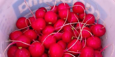 Самый любимый, один из первых овощ-корнеплод - редиска!)))
