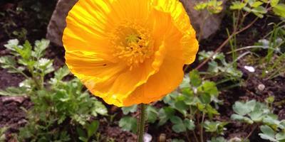 Мак восточный - желтое чудо в моем цветнике!)))