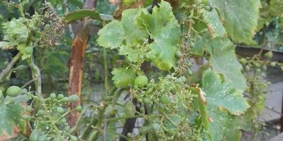 Что с виноградом и чем ему помочь?