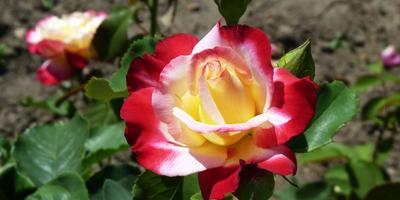 Роза Дабл Делайт - двойное удовольствие!
