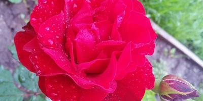 Роза Флементанз - моя молодая любимица в саду