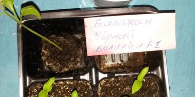 Баклажан Черный великан F1. III этап. Развитие растений и уход за ними. Пикировка рассады