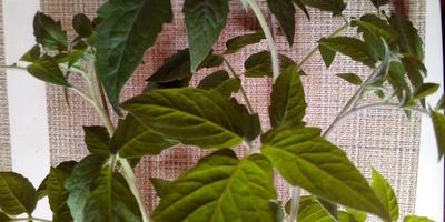 Два секрета для большого урожая. Натуральные средства от вредителей